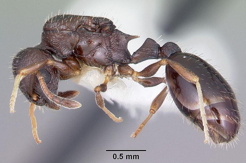 Enslaved Temnothorax longispinosus