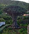 Tenerife - Drago de Icod de los Vinos 01.jpg