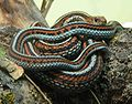 Thamnophis sirtalis tetrataenia 070901.jpg