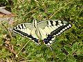 Thassos8 -Koninginnepage Papilio machaon(4).JPG