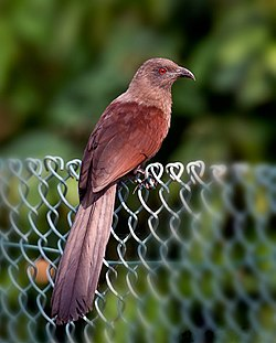 The Andaman Coucal.jpg