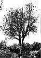 The indigenous trees of the Hawaiian Islands (1913) (20539335809).jpg