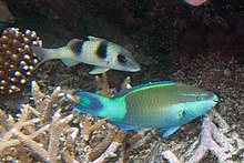Thicklipped goatfish Parupeneus crassilabris and bridled parrotfish Scarus frenatus (7594111248).jpg