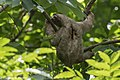 Three-toed Sloth - Cerro Ancon - Panama City (48454787556).jpg