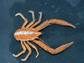 Three-toothed squat lobster, Munidopsis tridentata.jpg