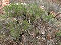 Thymus-vulgaris-subsp.aestivus-Ibiza05.2017.jpg