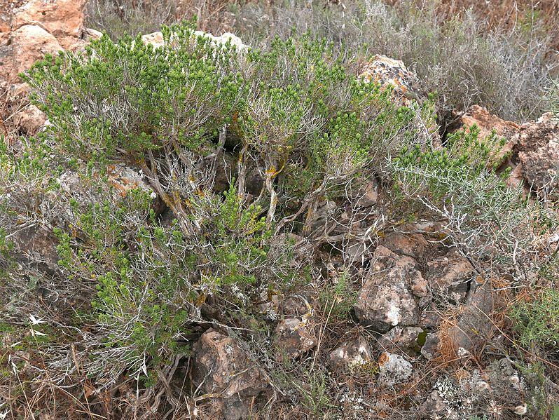 Datei:Thymus-vulgaris-subsp.aestivus-Ibiza05.2017.jpg