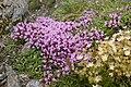 Thymus quinquecostatus 02.jpg