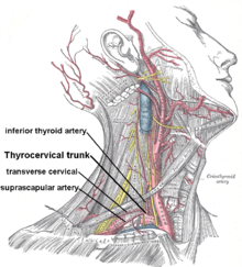 Thyrocervical trunk.png