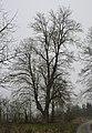 Tišnov, památný strom u červé značky do Vevrské Bítýšky.JPG
