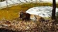 Tiger Bannerghatta Wild Life 8.jpg