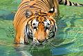 Tiger beauty (5465767011).jpg