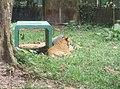Tigers in Zoo Negara Malaysia (24).jpg
