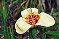 Tigridia pavonia flower.jpg