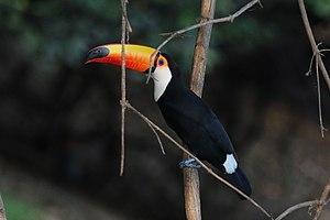 Toco toucan - Rio Negro, the Pantanal, Brazil
