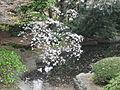 Tokyo cherry blossom 7.jpg