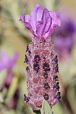 Topped lavendar flowerhead.jpg