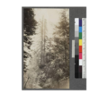 "Tops of the trees, bases of which are shown in photo -778. ""Goosepen"" base, on road to Branscomb from Laytonville, about 2 miles east of Branscomb. May 1920, E.F.png"