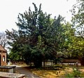 Totteridge Yew, St Andrew's church, Totteridge.jpg