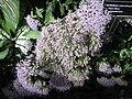 Trachelium caeruleum - JBM.jpg
