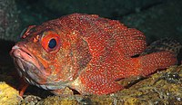 Trachypoma macaranthus (Toadstool groper)