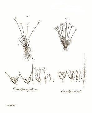 Illustration von zwei Centrolepis-Arten.