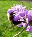 Tree bumblebee (Bombus hypnorum) on scabious, Sandy, Bedfordshire (7742423490).jpg