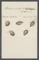 Trichoda sulcata - - Print - Iconographia Zoologica - Special Collections University of Amsterdam - UBAINV0274 113 15 0043.tif