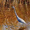 Tricolored Heron - Flickr - Andrea Westmoreland.jpg