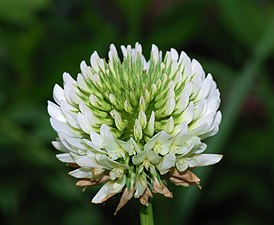 Trifolium March 2008-1.jpg
