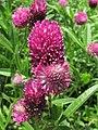 Trifolium alpestre Koniczyna dwukłosowa 2010-06-11 03.jpg