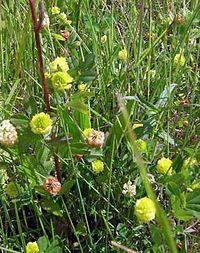 Trifolium campestre1
