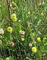 Trifolium campestre1.jpg