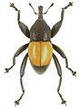 Trigonopterus maculatus holotype - ZooKeys-280-001-g049.jpg