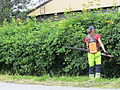 Trimming the hawthorn hedge - Orapihlaja-aidan tasoitus C IMG 9337.JPG