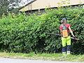 Trimming the hawthorn hedge - Orapihlaja-aidan tasoitus C IMG 9337.JPG