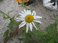 Tripleurospermum maritimum bluete