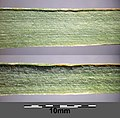 Trisetum flavescens subsp. flavescens sl12.jpg