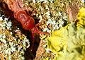 Trombidium holosericeum 1 Luc Viatour.jpg