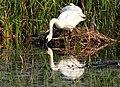 Trumpeter swan pair on muskrat house Seedskadee NWR 01 (14927026388).jpg