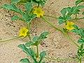 Tsamma Melons Flowers (Citrullus lanatus) (7000367729).jpg