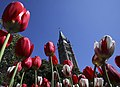 Tulips at Parliament Hill - 2018 (41270160655).jpg