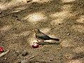 Turdus nudigenis -Trinidad-8.jpg