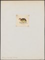 Turnix joudera - 1820-1863 - Print - Iconographia Zoologica - Special Collections University of Amsterdam - UBA01 IZ17100157.tif