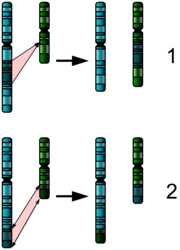 The two major two chromosome mutations; insertion (1) and translocation (2).