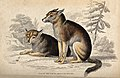 Two dogs of the North American Indians sitting in a forest. Wellcome V0020776.jpg