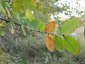 Ulmus crassifolia - Image: Ulmus crassifolia leaves