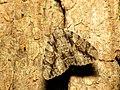 Underwing Moth (28515997454).jpg