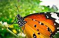 Unidf. Lepidoptera.jpg