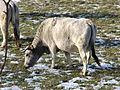 Vache gasconne102.JPG